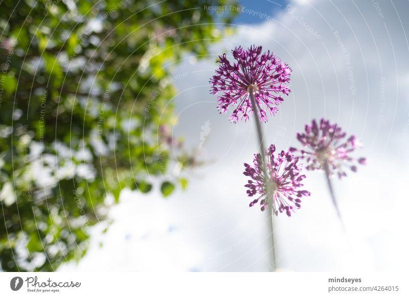 Allium von unten Weitwinkel Allium giganteum alliums Nature Clouds Clouds in the sky Flower Garden Gardening Perspective Purple purple flowers Violet Blossoming