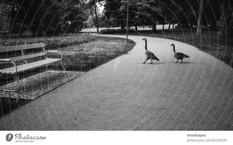 Two geese walking in the park Goose animals Park Park bench Black & white photo take a walk Garden Exterior shot Bench Calm Deserted Nature Shadow relaxation