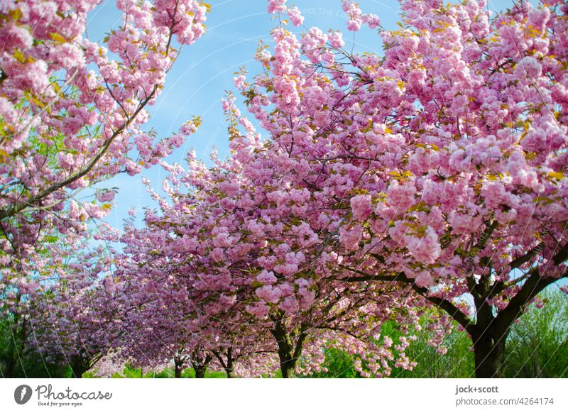 Japanese cherry trees in their prime Cherry tree Cherry blossom Spring Harmonious Blossoming Esthetic Kitsch Inspiration Spring flowering plant Growth Lush
