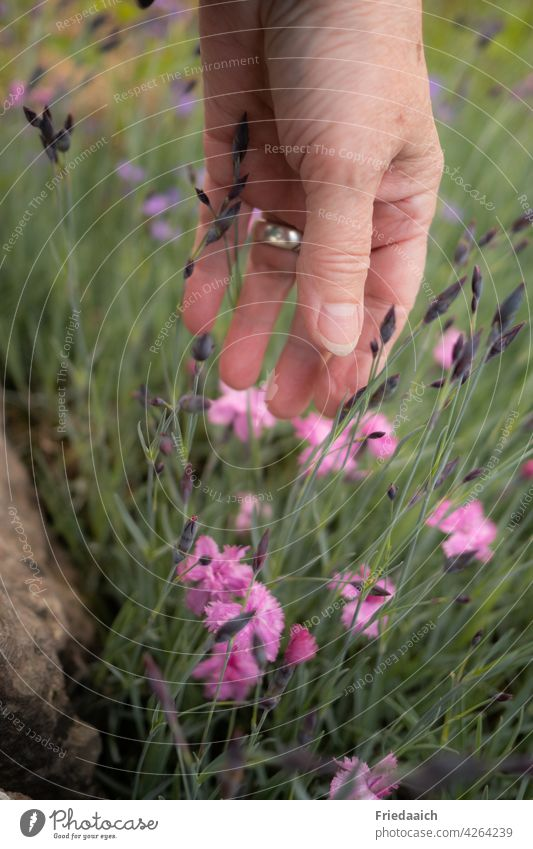 Hand on pink bearded carnations in flower bed flowers Flowerbed Garden Flower love Nature Love of nature Blossoming Summer free time Pink Plant Exterior shot