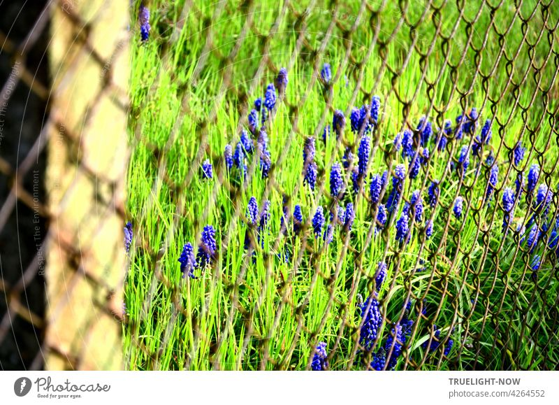 Behind a rusty wire mesh fence many small bright blue flowers stretch out of a green meadow as if they wanted to get out. Small little flowers Wild Grass Feral