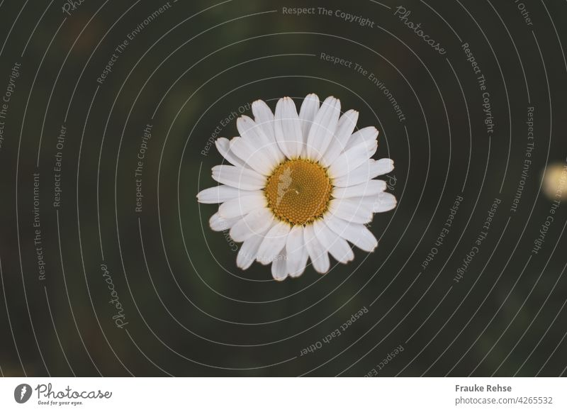 A single daisy flower from above with a raindrop in the middle Marguerite Blossom Yellow White Green Nature Summer Flower raindrops Drop Wet pretty early summer