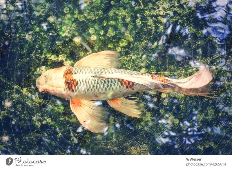 The colorful fish swims through a shimmering water universe Fish Ornamental fish Goldfish golden colored variegated Koi Carp flowed Tails Elegant Fabulous