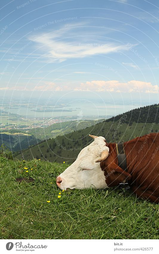 AST6 Inn Valley. Moo and eyes closed. Cheese Dairy Products Milk Environment Nature Landscape Sky Clouds Meadow Hill Alps Mountain Peak Animal Farm animal Cow 1
