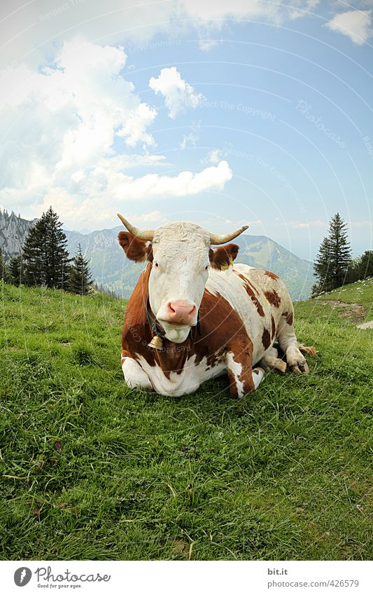 Animal A(l)bliegen Environment Nature Landscape Beautiful weather Rock Alps Mountain Peak Cow 1 Lie Cattle Cattle farming Agricultural product Organic produce