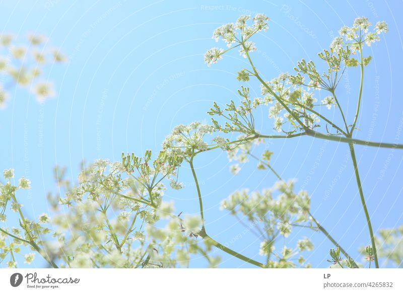 background of white flowers Sky Field Feminine Warmth Firm Hope Freedom Contrast Low-key Mysterious Dream Emotions calmness tranquil Calm Senses Contentment