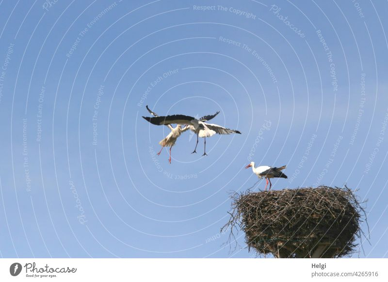 Attack - two storks fighting in the air next to a stork nest, one stork standing in the nest Stork Bird Migratory bird Stork's Nest Eyrie attack battle 3 Fight