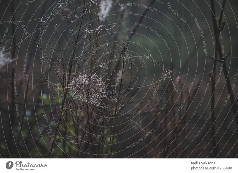 Spider web, plants, dew drops in a morning haze at sunrise, close-up natural spider macro pattern scene summer nature background light grass fog raindrop water