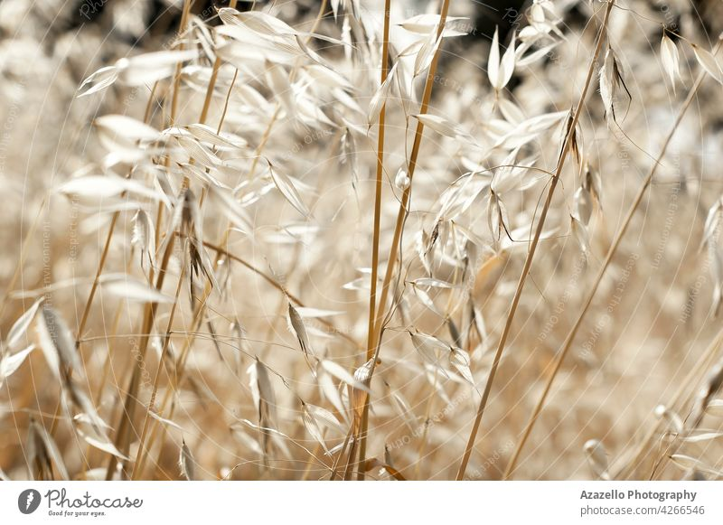 Beautiful calming dry grass background with seamless natural pattern atmosphere hay summertime calmness rural landscape closeup macro design minimalism autumn