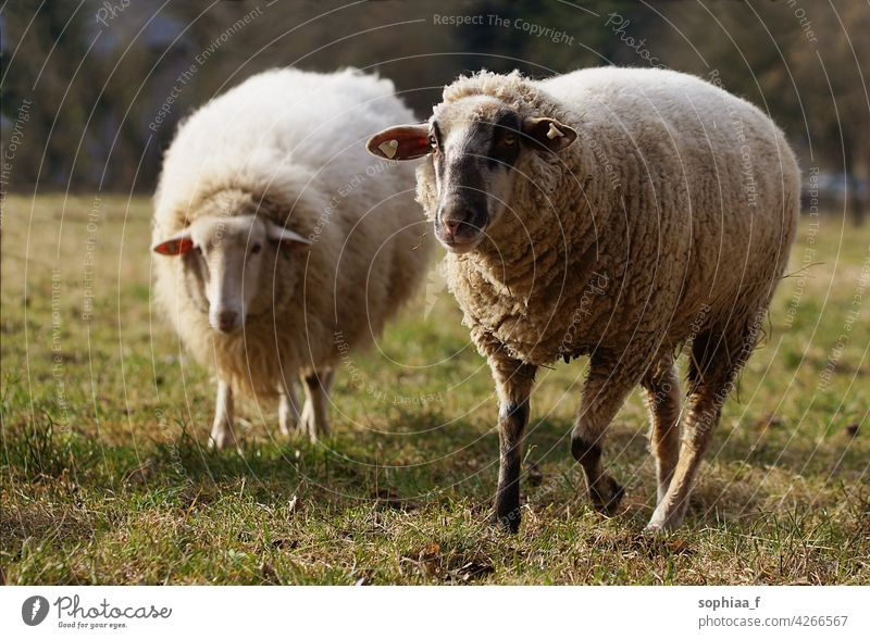 two sheep on pasture looking into camera wool meadow field merino farm agriculture curious white wool production grass running breed earmark ear mark