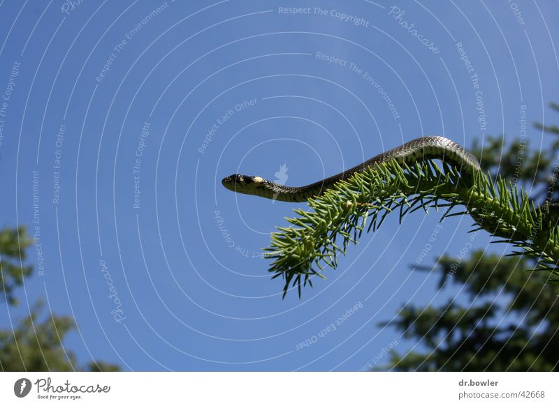 Snake_on_tree Ring-snake Coniferous trees Spruce Climbing