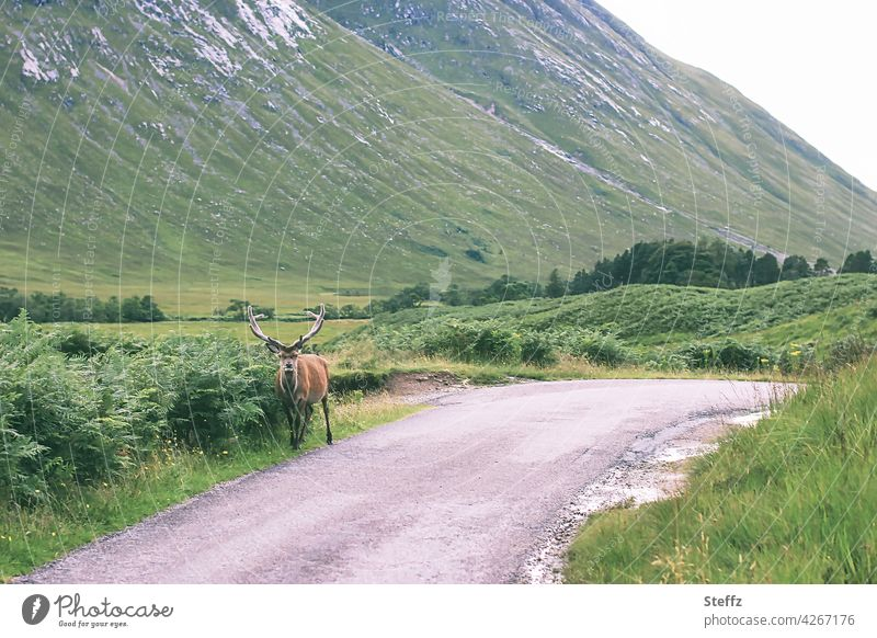 Welcome to Scotland stag way clear Rural encounter tranquillity Red deer Edelhirsch antlers Free Idyll Free-living Wild animal Freedom idyllically green hills