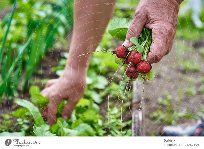 Fresh organic radish harvest in woman hands farmer food gardening natural vegetable fresh backyard plant healthy farming closeup green holding red country leaf