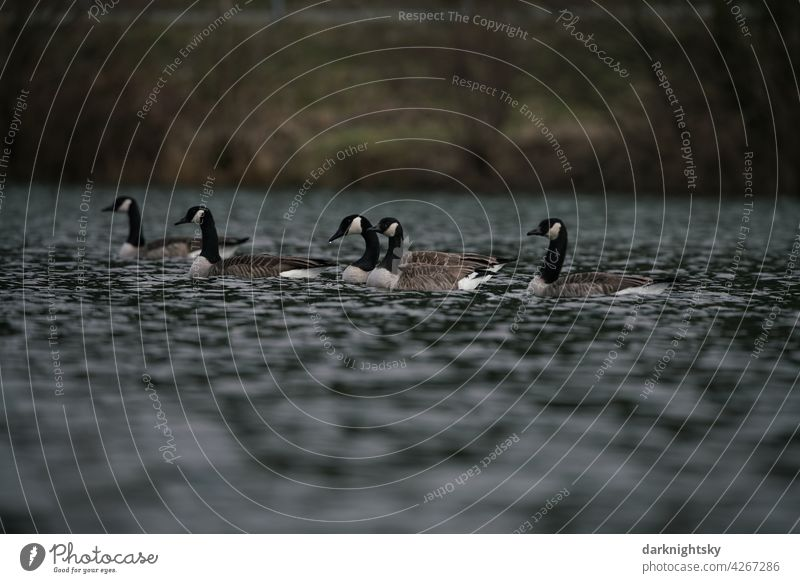 A group of Canada geese on a lake, Branta canadensis Anser Group of animals Exterior shot Environment Wild animal Migratory bird Flying Nature Bird