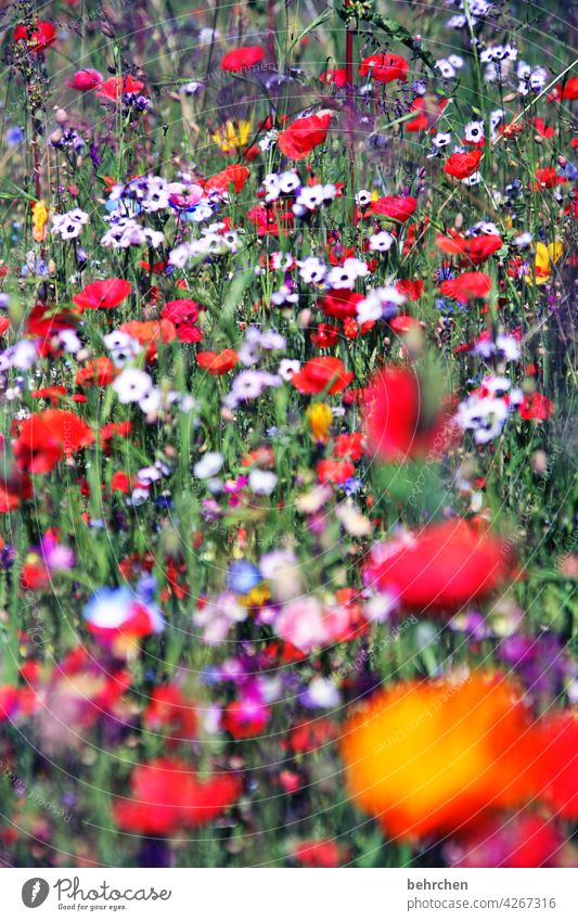 last arbeitsmo(h)nday... Flower meadow flowers Field Summer Splendid luminescent Colour photo Red Poppy blossom Exterior shot Poppy field Green beautifully