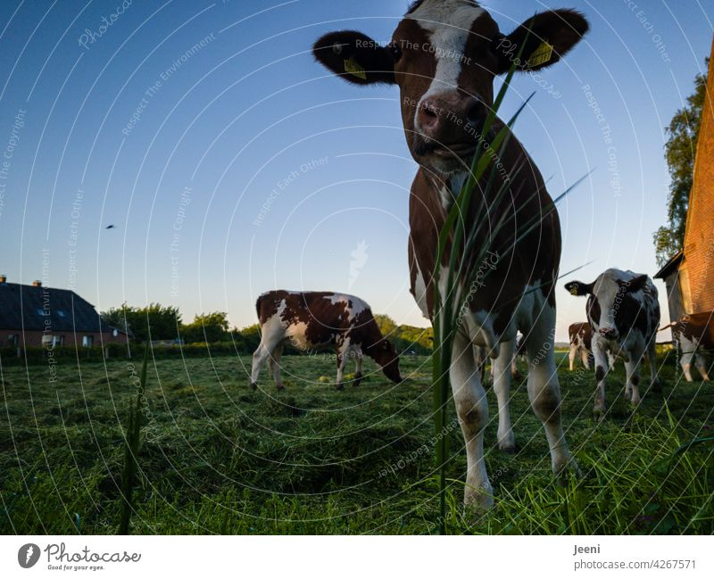 Curious cow Curiosity inquisitorial curious Observe Looking portrait Cow Cattleherd Willow tree Idyll idyllically Village Village idyll Village green Animal