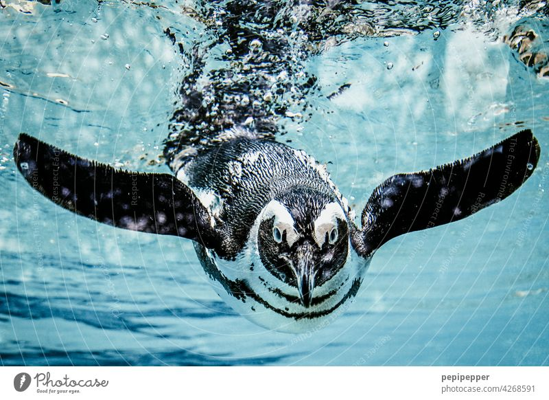 Humboldt penguin in the water Penguin Animal Water Zoo Swimming & Bathing Colour photo Aquarium Dive 1 Animal portrait Underwater photo Wild animal Blue Ocean