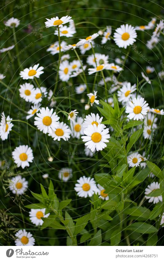 Fresh bright chamomile flowers in a rural field top view sunny day. idyllic nobody environment freshness camomille healthy chamomille summertime tranquil