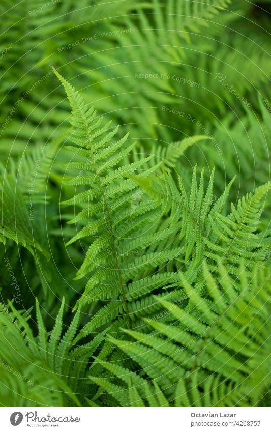 Fresh green forest fern leaves bush top view close up shot shallow depth of field fern leaf herb outdoor season stem surface lush decorative bright life