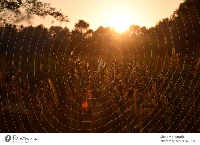 Sunset in the countryside Sunlight Sunbeam Country life grasses Exterior shot Back-light Deserted Beautiful weather Light Evening Landscape Nature Grass warm