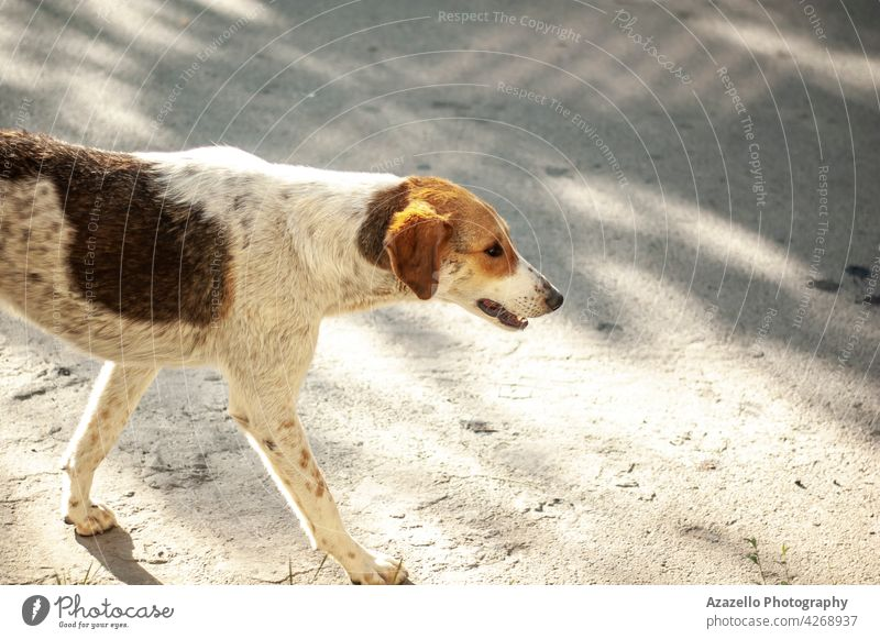 A white homeless dog with ginges spots walking in the street ginger red stray shadows canine bone animal unprotected cute pet brown nature young mammal puppy