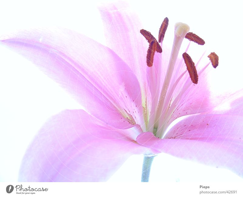 glimpse Colour photo Interior shot Close-up Neutral Background pretty Summer Nature Plant Flower Blossom Blossoming Fresh Pink Happy Transience Lily Delicate