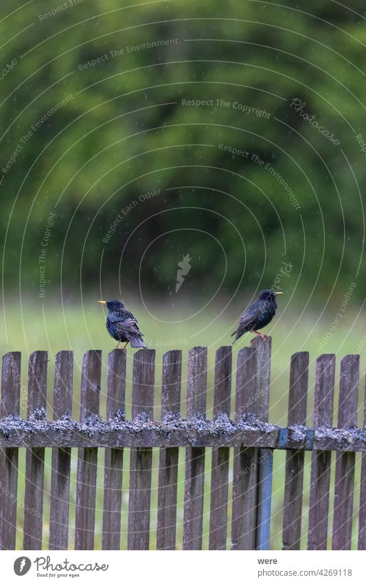 Two starlings sitting in the rain on a picket fence overgrown with moss and lichen at the edge of the forest Animal Animal themes Beak Black Black and blue Blue