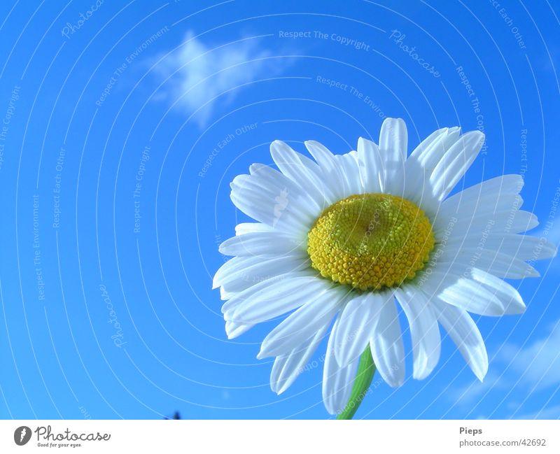 Nature Sky White Flower Summer Blossom Spring Garden Transience Blossoming Marguerite Spring fever June
