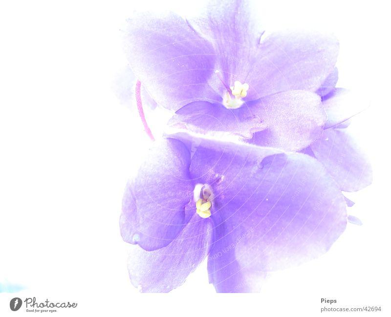 Nature Flower Blue Plant Blossom Blossoming Houseplant Saintpaulia