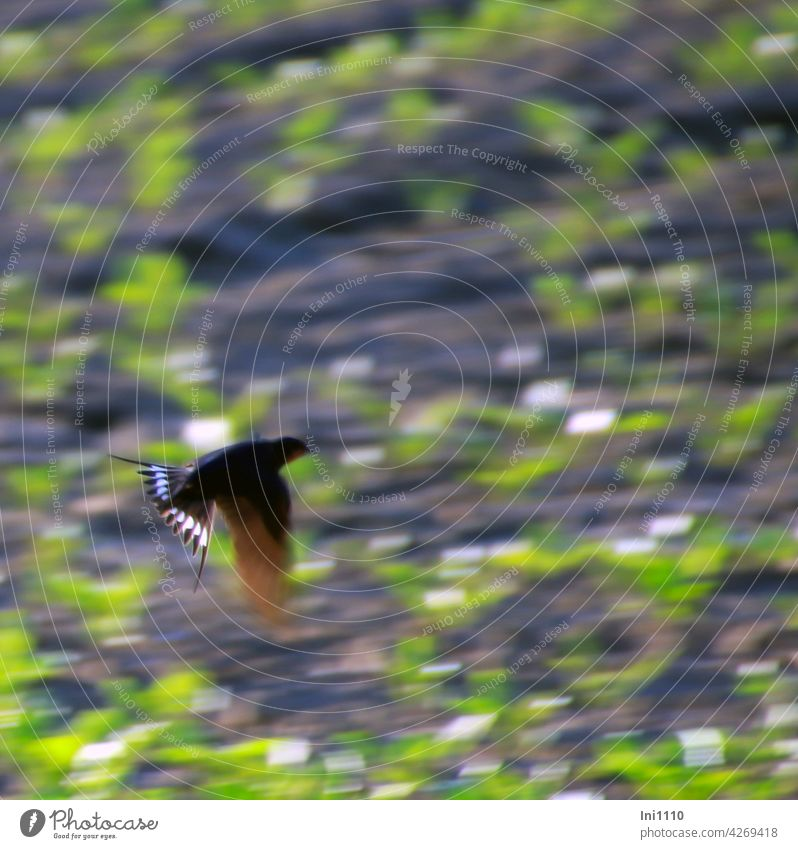 Barn swallow hunting insects Migratory bird House Swallow Swallowbird rustic hirundo flight Flying Swallowtail Tail skewers Forked dovetail Speed Fencer