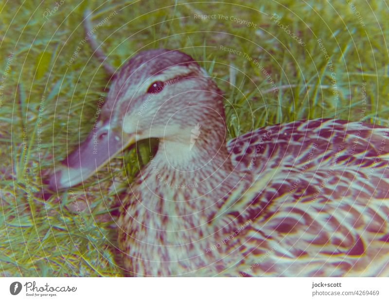a big noise you curious duck Analog Reaction blurriness Experimental Hissing color cast Duck Blanched Detail illusive differently imperfect naturally