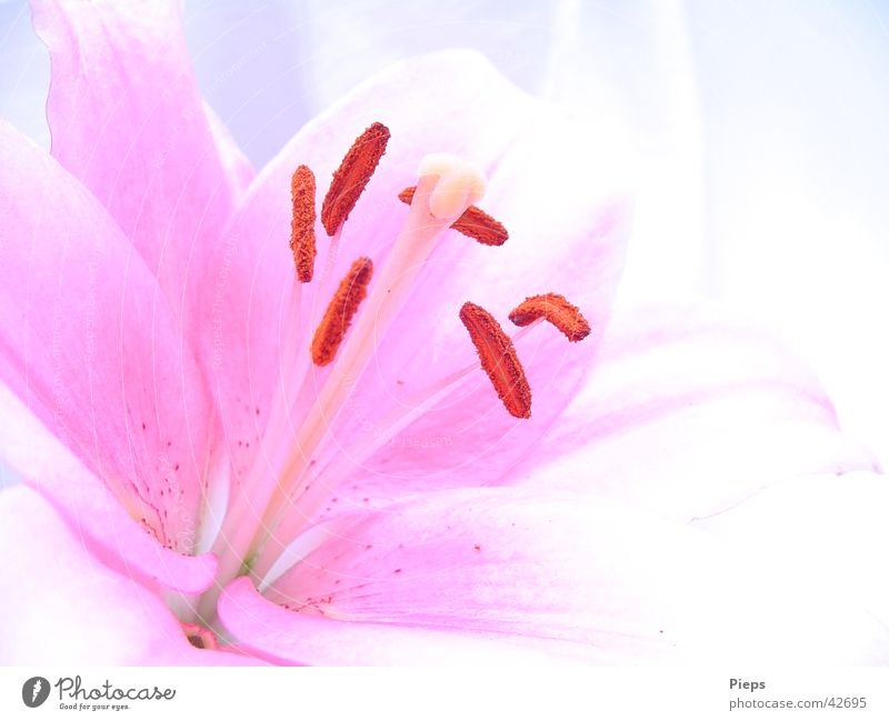Insight (2) Colour photo Interior shot Copy Space right Day Summer Plant Flower Blossom Blossoming Fresh Pink Transience Lily Delicate