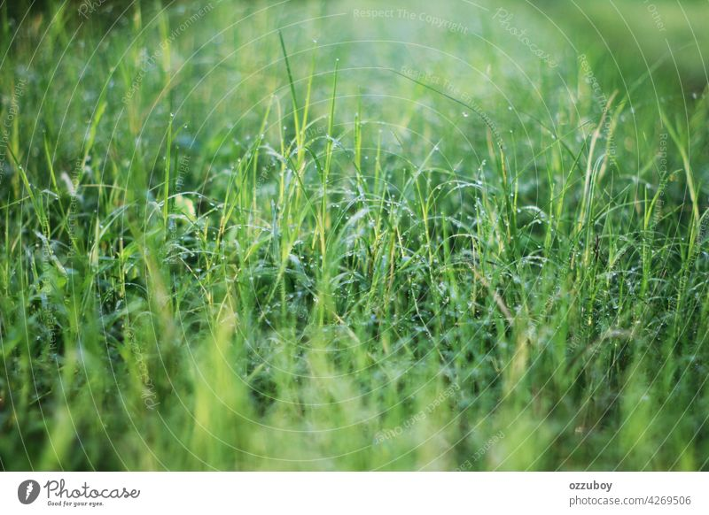 Fresh grass with dew drops morning green nature background water closeup spring growth meadow freshness light sun field environment natural summer lawn vibrant