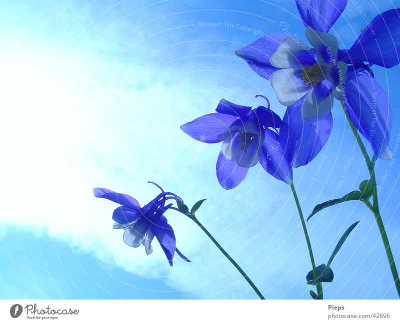 triplets Colour photo Exterior shot Copy Space left Summer Garden Sky Spring Flower Blossom Blossoming Blue Spring fever Transience 3 Aquilegia Day