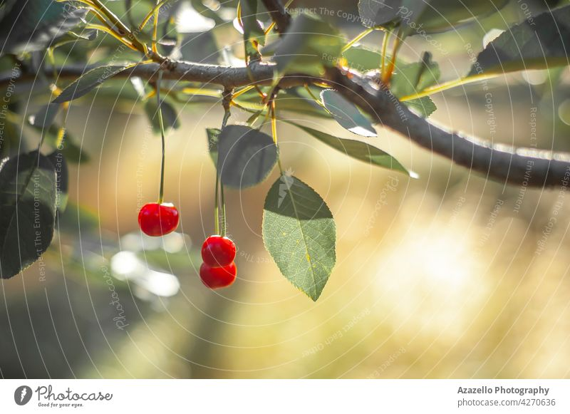 Ripe cherries under the bright morning sunlight vitamin cherry branch delicious tree leaf leaves minimalism vegan healthy nutrition diet sour cherry raw food