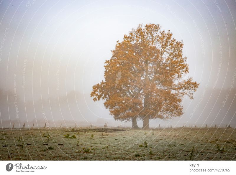 Two trees in a field on a foggy November morning Tree Fog Misty atmosphere Shroud of fog late autumn Autumn Autumn leaves Autumnal weather autumn mood Field