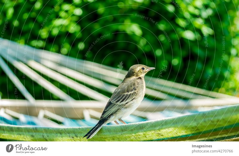 Relaxing on the hammock. Baby wagtail (Motacilla alba) young bird in the garden, in the sunlight relaxation Hammock Wagtail Young bird Garden Sunlight Alba