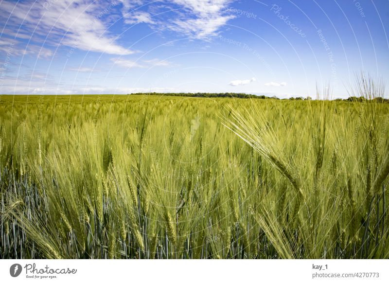 Cereal field in May under blue sky Grain Field Grain field corn stalk cereal fields cereal cultivation Summer Agricultural crop Cornfield Agriculture Nature