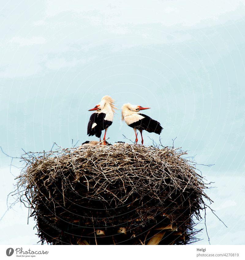 joyful greeting - two storks stand in the nest and greet each other by joyful clattering Stork White Stork Couple Nest Eyrie Stork's Nest Spring Animal Bird