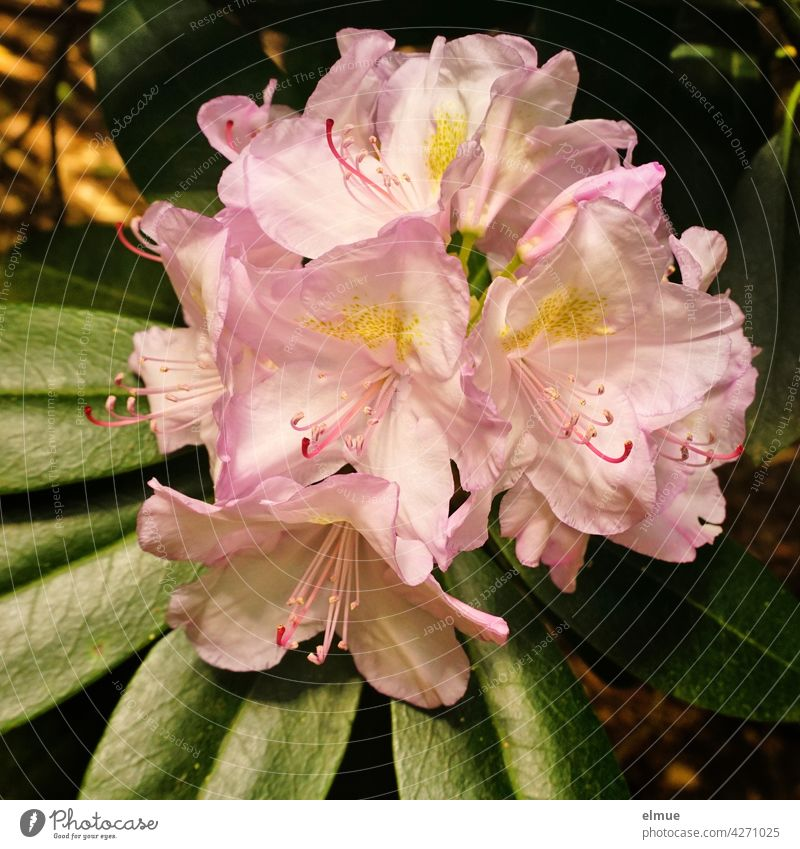 Pink rhododendron flowers with leaves / alpine rose / early summer Rhododendrom Alp rose Blossom bee-friendly Leaflet bush blossom Heather plant Rhododendreae