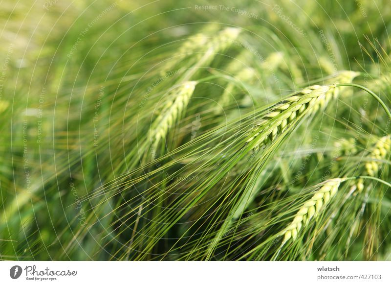 grains Food Grain Nutrition Organic produce Agriculture Forestry Nature Landscape Field Environment Gold Cornfield Wheat plant Farmer Eating Barley Barleyfield