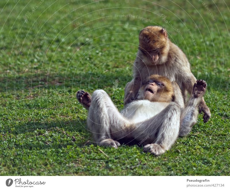 Two monkeys Zoo Animal Wild animal Animal face Pelt Paw 2 Pair of animals Touch Relaxation To fall To hold on To enjoy Crouch Lie Together Cute Contentment