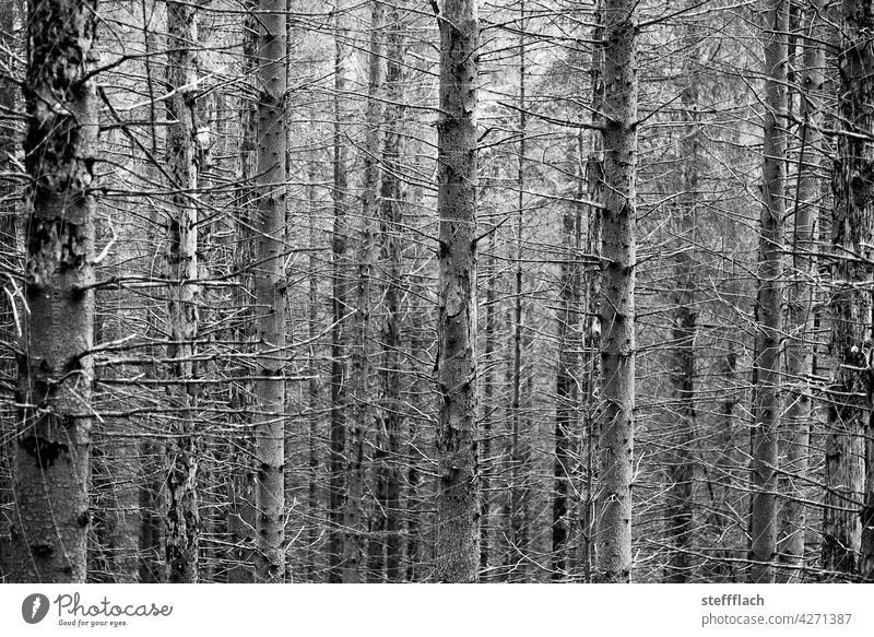 B/W Coniferous forest without needles Forest Coniferous trees trunk tribes Empty Bark-beetle Tree Nature Environment Exterior shot Plant Deserted Wood Forestry