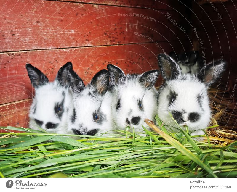 What a competitive eating the little rabbits think and let themselves taste the fresh green grass. Hare & Rabbit & Bunny Animal Ear Pelt Pet Cute Colour photo