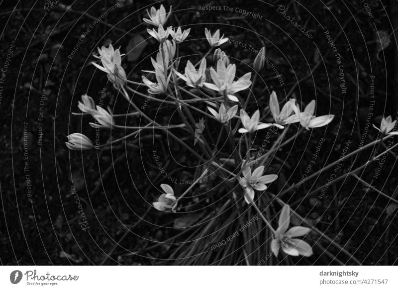 Chickweed, Stellaria, flower in the forest stellaria Sternmiere chickweed Grayscale flowers Forest blossoms starry white bright Flower blurriness Close-up