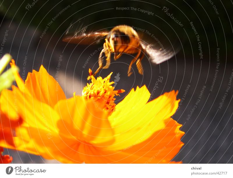 Flower Yellow Blossom Fly Bee Honey Cosmos