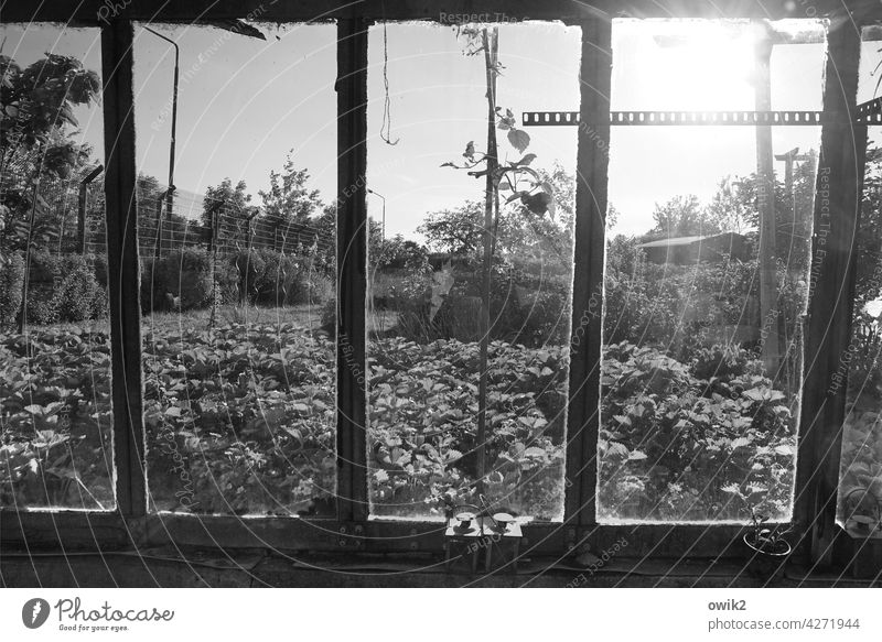 window front Greenhouse Transparent Glass wall Detail Window Garden Metal Bushes Plant Spring Old Ravages of time Black & white photo Environment Horticulture
