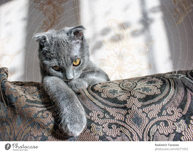lop-eared gray cat lying on the sofa cute pet fur purebred small fluffy animal portrait eye scottish beautiful domestic face care young sitting feline whisker