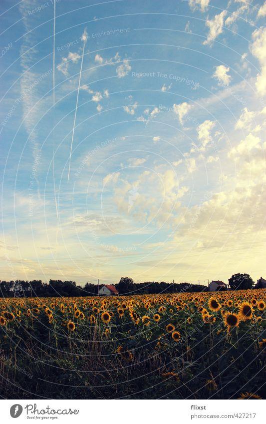 Sky Summer Landscape Field Contentment Beautiful weather France Sunflower