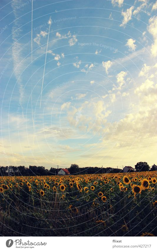 vive la france Landscape Sky Summer Beautiful weather Contentment Sunflower Field France Colour photo Exterior shot Copy Space bottom Day Deep depth of field